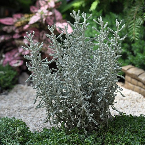 Miniature Fairy Garden Santolina incana, Lavender Cotton