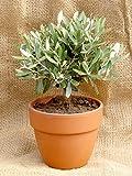 Prächtiger Olivenbaum Olea europaea Frosthart bis -10 Grad Gesamthöhe ca.30-40