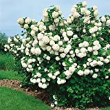 baldur garten bauern jasmin 1 pflanze philadelphus coronarius garten. Black Bedroom Furniture Sets. Home Design Ideas
