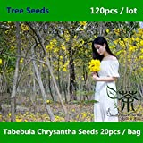 Ornamental Plant Tabebuia chrysantha Seeds 120pcs, Very Popular Guayacan Araguaney Seeds, Decidious Tree Tajibo Yellow Ipe Seeds