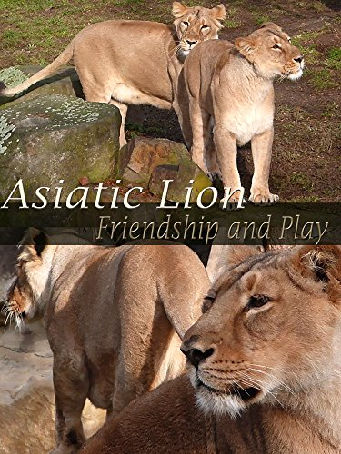 Asiatic Lion. Friendship and Play