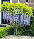 blauregen auf stamm 1 pflanze wisteria sinensis glycinie. Black Bedroom Furniture Sets. Home Design Ideas