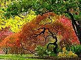 GardenHouse Acer Palmatum, Japanese Maple x 2 - Autumn colour Specimen plant Woodland / semi-shade small tree shrub