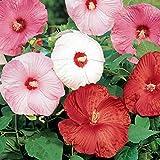 Hibiscus 'Disco Belle' - 10 Seeds - Perennial