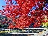 【6か月枯れ保証】【紅葉が美しい木】イロハモミジ 0.5m