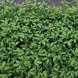 SeeKay Cress 'Greek' Appx 3500 seeds
