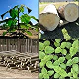 paulownia elongata 100+ fresh seeds gift ROYAL FAST GROWING TREE
