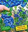 BALDUR-Garten Trauben-Heidelbeere 'Reka� Blue', 1 Pflanze, Vaccinium corymbosum