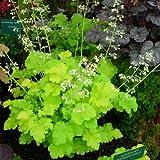 HEIRLOOM Lime Rickey Heuchera Coral Bells 50 seeds VERY RARE