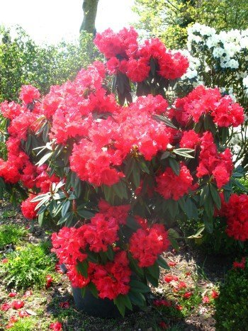 rhododendron-wilgens-ruby-40-cm-hoch-im-4-liter-pflanzcontainer