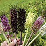 Pineapple Lily Mix- 3 Bulb 16/+ cm - Eucomis