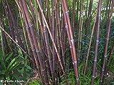 Phyllostachys nigra - bambou noir - 15 graines
