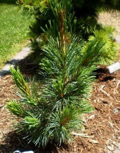 DWARF SWISS STONE PINE - Pinus cembra 'Tip Top' - 1 - YEAR PLANT