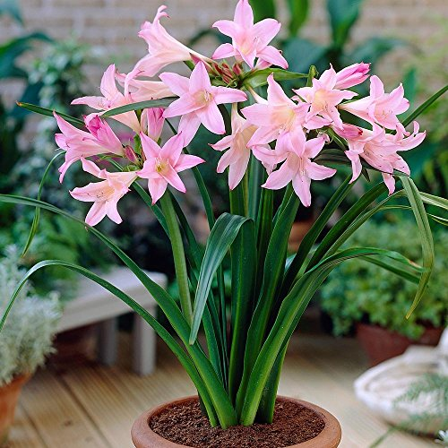 Amarcrinum - Hybrid of Amaryllis Belladonna and Crinum Lily - Shades of Pink - 1 Huge Bulb: Evergreen and Continuous Summer Blooming (Crinum Bulbs compare prices)