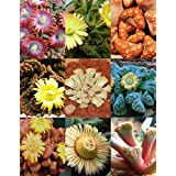 Titanopsis Mix, Sold By EXOTIC CACTUS Succulent Cactus Mixed Living Stones Rocks Plant Seed 50 Seeds