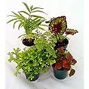 Hirt's Terrarium & Fairy Garden Plants - 5 Plants in 2