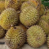 Durian Seeds
