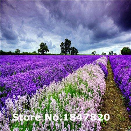 new 2015 rare lavendel samen 10 arten 200 mischen sie farben blumensamen hohe berlebensrate. Black Bedroom Furniture Sets. Home Design Ideas