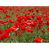 Papaver - CORN - FLANDERS - FIELD POPPY - 7000 seedsby Haddons