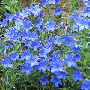 1 x lithodora diffusa heavenly blue in a 1 litre pot for Low growing flowering shrubs