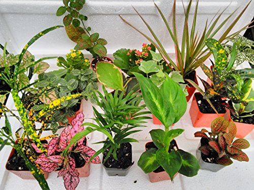 Terrarium fairy garden plants 8 plants in 2 5 is Fairy garden plants