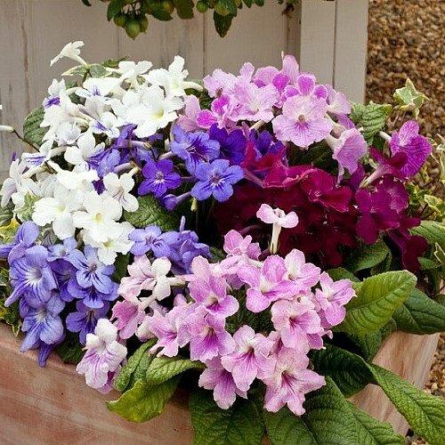 cape-primrose-15-seeds-streptocarpus-house-plant