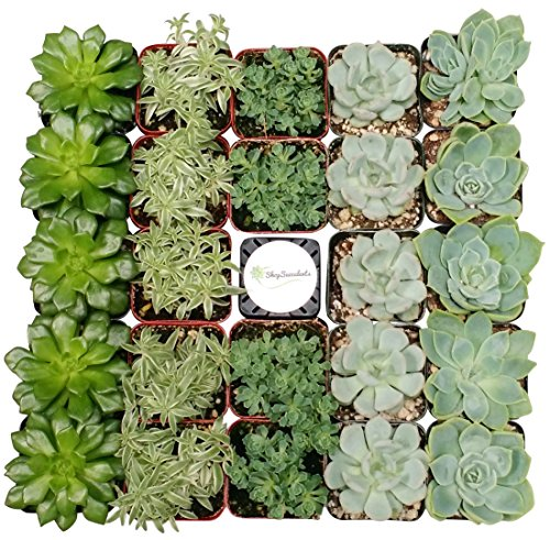 Shop Succulents Green Succulent (Collection of 32)