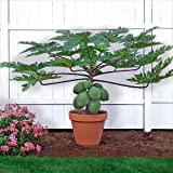 "Papaya T.R. Hovey Tree - Carica papaya - Easy to grow fruit - 4"" Pot"