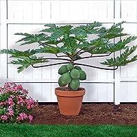 Papaya T.R. Hovey Tree - Carica papaya - Easy to grow fruit - 4