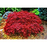 Japanese Maple Red Dragon, 3 Gal. 2.5 - 3 feet