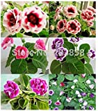 100 Pcs/bag,gloxinia Seeds, Flower Seed, Variety Complete, the Budding Rate 95%, (Mixed Colors)