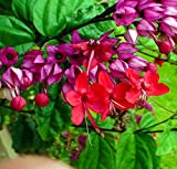 """Red Bleeding Heart Vine Plant - Clerodendrum - Indoors/Out - 4"""" Pot"""