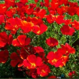 CALIFORNIA POPPY - RED CHIEF - 2000 FLOWER SEEDS