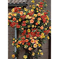 Joseph's Coat Climbing Rose - Biblical Colored Blooms/Very Hardy - 4