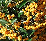 Sycamore Trading PYRACANTHA Soleil d'Or x 5 Young Plants