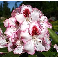 Cherry Cheesecake Rhododendron - Compact/Easy to Grow - 4