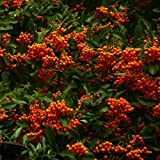 Pyracantha 'Mohave' 16cm Pot Size