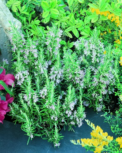 Herb Plants, Mentha Rosemary Officinalis Plants - 6 Plug Plants