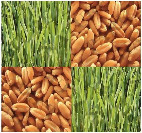 1 Oz (400+) Hard Red Spring Wheat Sprouting Seeds Wheat Grass Juice