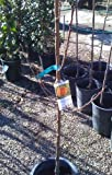 Long Beach Peach Tree -- 12 by 12 Inch Container