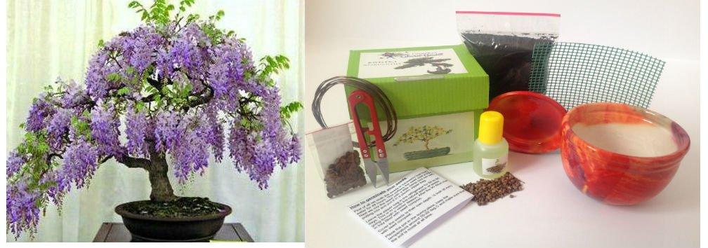 exklusive komplette bonsai anzuchtset chinesischer. Black Bedroom Furniture Sets. Home Design Ideas