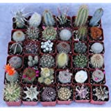 36 Cactus Misc 2inch Potted Cactus Collection