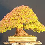 Bornnbayb 20Pcs Maple Seeds Bonsai Maple Tree Seeds Bonsai Plants Trees for Indoor Garden Planting