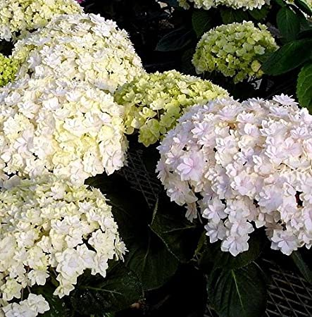 Double Delights 'Peace' Hydrangea Bush