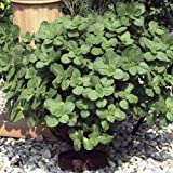 "Dog's Gone! Plant - AMAZING PLANT - Keeps Dogs Away - 4"" Pot"