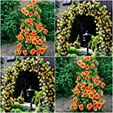 (Combo Of 2 Colors) Floral Treasure Orange & Yellow Climbing Rose Seeds - Pack Of 20