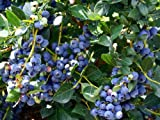 Hirt's 'Top Hat' Dwarf Blueberry Plant - Bonsai/Patio/Outdoors