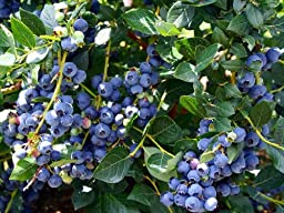 Hirt\'s Top Hat Dwarf Blueberry Plant - Bonsai/Patio/Outdoors