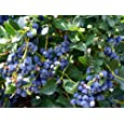 Hirt's Top Hat Dwarf Blueberry Plant - Bonsai/Patio/Outdoors