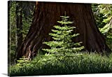 Scott Stulberg Gallery-Wrapped Canvas entitled Baby Redwood Tree in front of parent, Redwood Forest, Yosemite, California